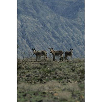 Group of wild burros in the Panamint Valley.