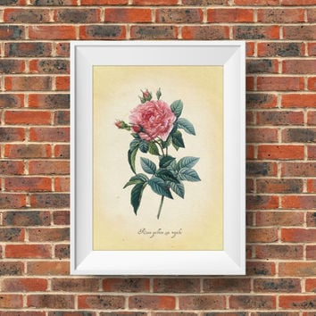 French Rose - Rosa gallica ssp. regalis - Vintage Scientific Botanic Art - DIY Printable Home Decor - Instant Download - Kitchen House Art