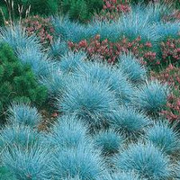 Blue Fescue Grass, 50 seeds, Perennial, Fill in Spots for some color
