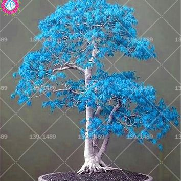 20pcs Blue maple tree seeds Indoor bonsai plants seeds Perennial woody potted for living room home decor Best packaging 2018 HOT