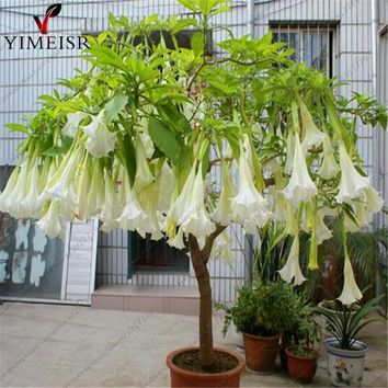 Datura flower seeds Tropical Plant aromatic White Angels Trumpet flower indoor bonsai seed for home garden 50seeds/bag