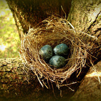 Nest - Bird's Nest - Polymer Clay Eggs - Bird Eggs - Blue Eggs - Real Bird's Nest With Polymer Clay Eggs