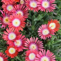 Delosperma dyeri, Ice Plant, Delosperma, buy Delosperma for sale, buy Ice Plant for sale