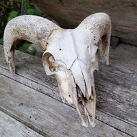Vintage Ram Sheep Skull, genuine animal bone, hunting lodge decor, rustic home decor, pagan altar decor, taxidermy curio, gothic decoration,