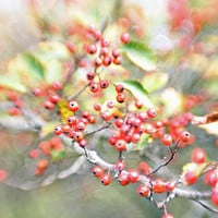 Fall Hawthorne Tree Winter Berry Photo Nature and Wildlife Photo Print Matted 8x10 Free Shipping 20x24 16x20 11x14 5x7