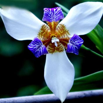 Hot Sale Rare White Colour Iris Orchid Seeds Beautiful Perennial Flowers Seeds Iris Flower Seeds 50PCS