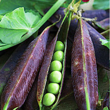 20 Blauwschokkers Purple Podded Peas Seeds | Heirloom Non GMO, Pink Flowers, Purple pods, Cool Weather Crop, DIY Kids Home Plant Garden Deco