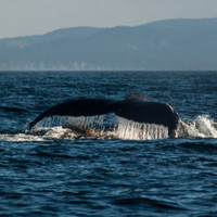 4 Photo Set, Whale Photography, Humpback Whale, Whale Tail Photo Print. Available 4x6-12x18
