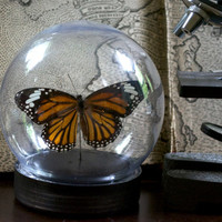 Common Tiger Butterfly  Dome Display