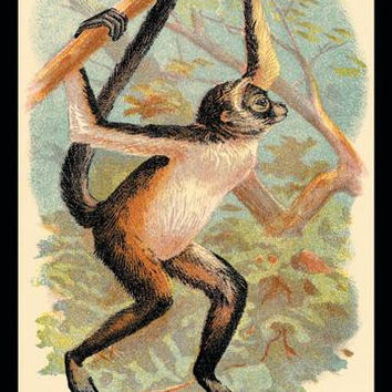 The Variegated Spider-Monkey 20x30 poster