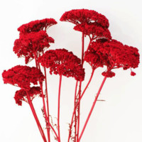 "Dried Yarrow in Red10 Pieces Per Bunch24"" Tall"