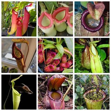 100pcs Rare Rajah Nepenthes Plant Outdoor & Indoor Balcony Potted Bonsai Carnivorous Plant for Flower Pot Planters Easy to Grow
