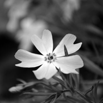 Macro Flower - black and white photo, flower photography, flower, garden, nature