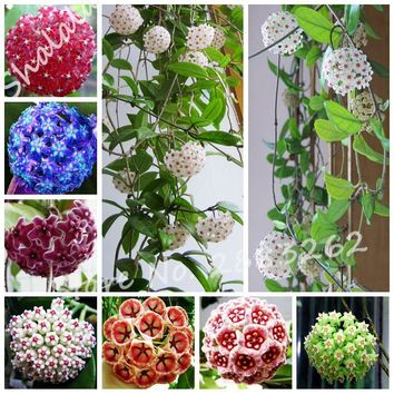 3.28 Promotion! 100 Pcs Hoya Seeds Ball Orchid Flower Seeds Perennial Flower Rare Orchid Seeds Potted Plant For Home Garden