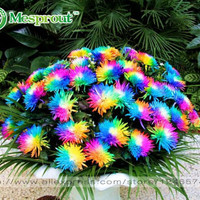 100PC Rainbow Chrysanthemum Flower Seeds, Ornamental Bonsai