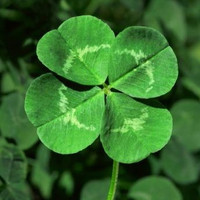 St. Patricks Day Four Leaf Clover, Grow Your Own for Luck, 25 Seeds
