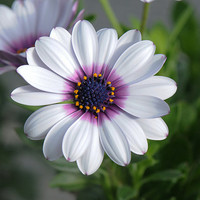White Cape Daisy with Purple Center, 20 Flower Garden Seeds
