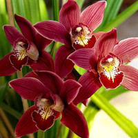 100 Chinese Cymbidium Orchid Seeds Balcony Bonsai Garden Flower Semente Decorative Exotic Rare Colorful Garden