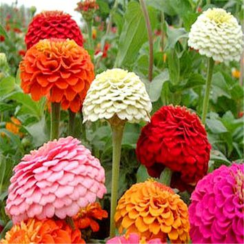 100 Zinnia Seeds, indoor plants flowers new arrival DIY Home Garden flower plant