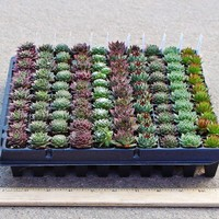 Sempervivum (Hens and Chicks) Mini Plug Tray - Select Varieties (100)