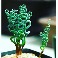 100 pcs Rare Sprial Grass Flower Seeds Succulents plant Grass seeds DIY bonsai Potted Garden Home Exotic Plant Interesting