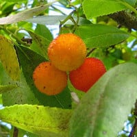 Strawberry Tree Seeds (Arbutus unedo) + FREE Bonus 6 Variety Seed Pack - a $30 Value!