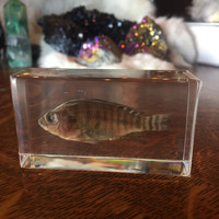 Nile Tilapia Fish Paperweight