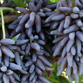 50 Witch Finger Grape Very Rare Exotic Seeds Advanced Fruit Seed Natural Growth Tasty Delicious Fruit Plants