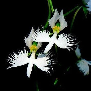 World's Rare Flower Japanese Radiata Seeds For Garden & Home, Planting White Dove Orchid Seeds, White Flowers ,50Seeds/Bag