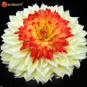 2016 New Arrival Rare Yellow Orange Dahlia Seeds Charming Chinese Flower Seeds Bonsai Plants for Garden 100 Particles / lot
