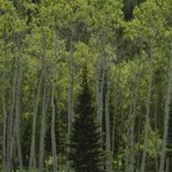 Lone Evergreen Amongst Aspen Trees With Spring Foliage