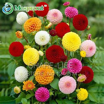 Yellow  Orange  Dahlia  Seeds  Chinese  Flower  Seeds