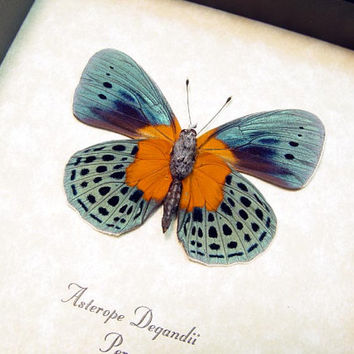 Real Framed Asterope Degandii Orange Patch Blue Butterfly Shadowbox Display 6253