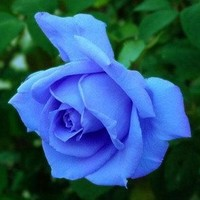 Blue Rose Seeds! 5 Seeds!