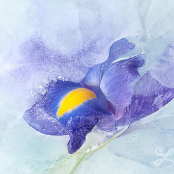 Floral Fine Art Wall Print, Flower Photography, Iris Flower Photo Art Home Decor. Blue Yellow Violet Botanical Fine Art Large Print