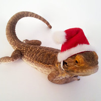 Bearded Dragon Clothing! Santa Hat!