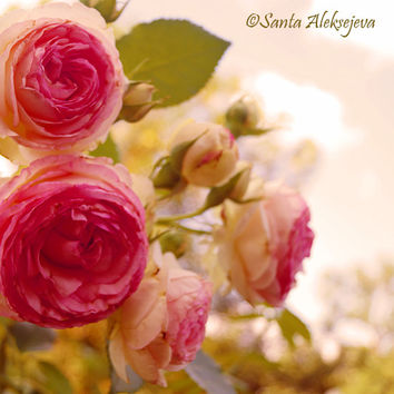Pink Roses - Fine Art Photography - rose photo print 8x8, rose photography, shabby chic decor, pink rose photo, shabby chic art, pastel