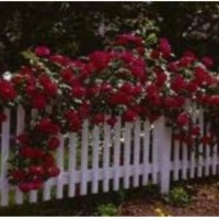 Elegant Color Climbing Rose Seeds You Choose Color 10 Seed or 20 Seed Packs