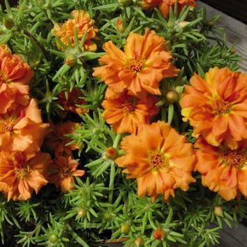 Portulaca Moss Rose Orange Ground Cover Seeds (Portulaca Grandiflora) 200+Seeds