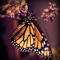 Digital Download Photography - Butterfly, Nature, Macro, Still Life - Monarch, Living Room Art Print, Nursery, Girls Room