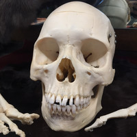 Human Skull With Hinges and Removable Cranium