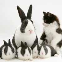 Blue Dutch Rabbit and Four 3-Week Babies and Black-And-White Kitten Premium Poster by Jane Burton at Art.com