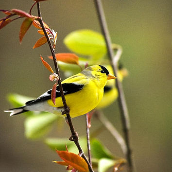 American Goldfinch-2