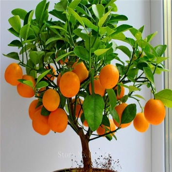 Bonsai Fruit seeds Orange Tree Seeds. Grow Indoors or Outdoors    30pcs