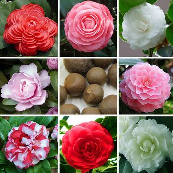 2016 New Arrival 100% Real Common Camellia Seeds Potted Flowers Seeds Bonsai Plant 20particle / pack