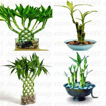 mixed 30 pieces/lot  Lucky bamboo seeds,potted balcony, outdoor indoor plant seeds for home garden flower seeds