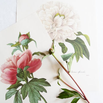 2 Vintage Peony Botanical Flower Book Plates Redoute Art Wall Hangings French Script Peonies