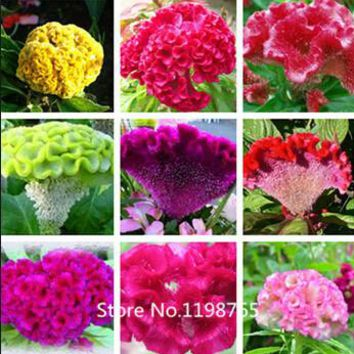 2016 Hot Free Shipping 500 Cockscomb Seeds(Celosia )- mix color, DIY Home Garden flower seeds plant ,bright color ,