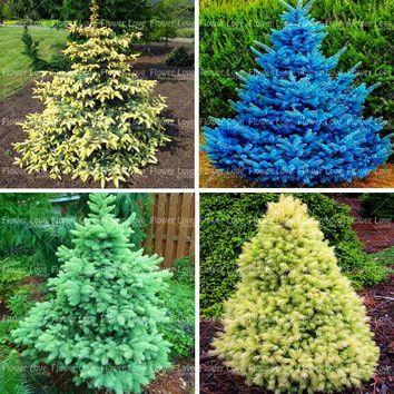 50PCS Rare Blue Spruce Tree plant Evergreen Picea Pungens Glauca Perennial Outdoor Ornamental Plant For Home Garden