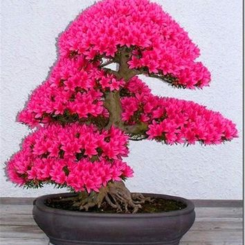Bonsai Tree japanese sakura seeds 10pcs ,bonsai flower Cherry Blossoms free shipping